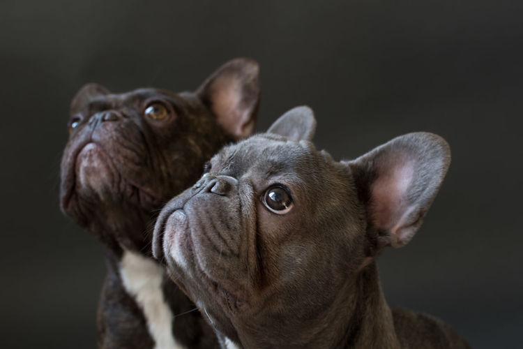 Alertness Black Background Black Backround Close-up Dog French Bulldog Frenchbulldog Frenchie Grey Grey Background Pets