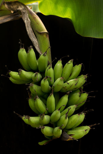 Bunch of bananas growing on tree