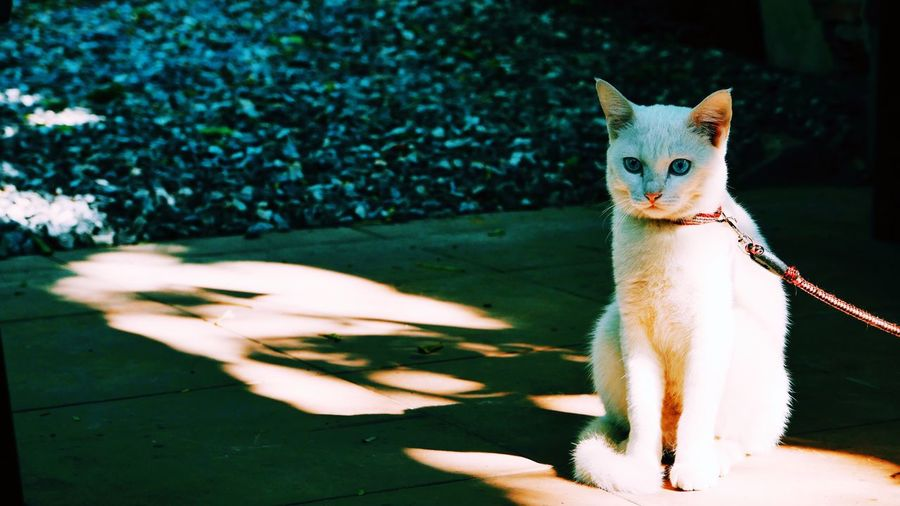White cat has collar sitting on ground with shadow. Focus Shadow Owner Collar White Cat Domestic Cat Animal Themes Pets Domestic Animals Feline Mammal One Animal Whisker Outdoors No People Portrait Day Looking At Camera Nature