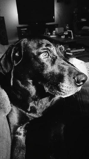 My dog rocks :) Labrador Black Labrador I Love My Dog My Best Friend Blackandwhite Black And White Monochrome Pet Portraits Black And White Friday