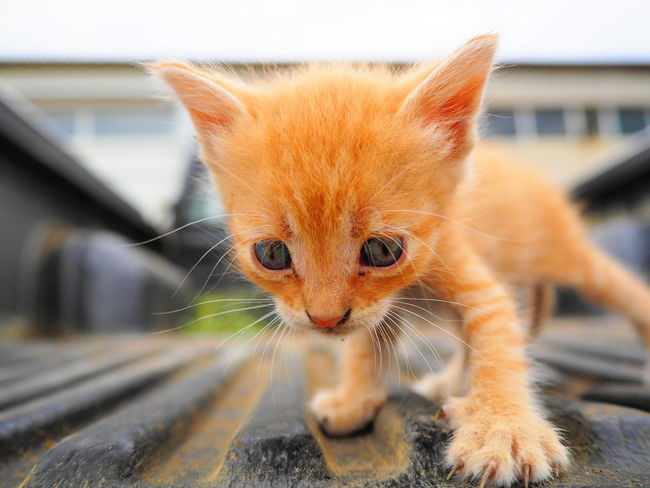 Animal Themes Close-up Day Domestic Animals Domestic Cat Farmer's Life Feline Focus On Foreground Ginger Cat In Greece Looking At Camera Mammal No People One Animal Outdoors Pets Portrait Whisker