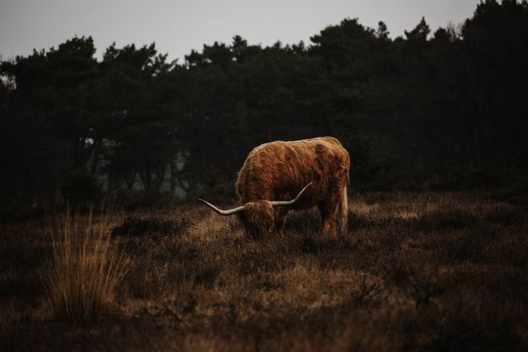 Scottish highlander grazing in a field