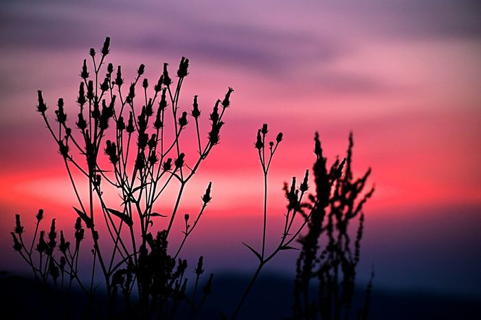 Sunset Silhouette Nature Purple Plant Pink Color Landscape Dusk Multi Colored Outdoors Scenics Tree No People Beauty In Nature Rural Scene Night Backgrounds Natural Parkland Sky Close-up The Great Outdoors - 2017 EyeEm Awards Place Of Heart