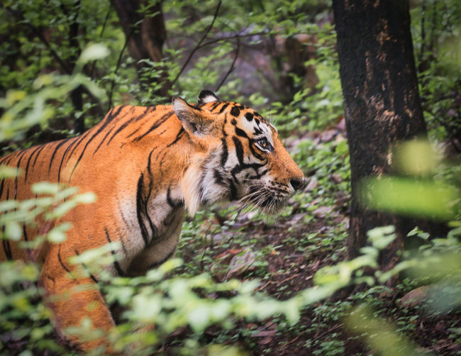 View of a male tiger in ranthambhore national park