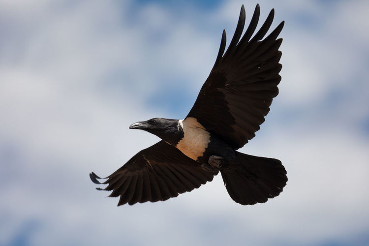 Low angle view of eagle flying against sky