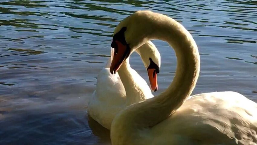 Schwan  Schwäne Swan Swans Swans ❤ Swantastic Schwanenfamilie