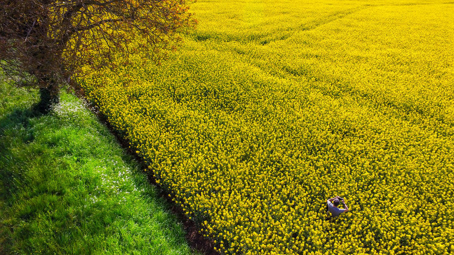High angle view of yellow flowers growing in field