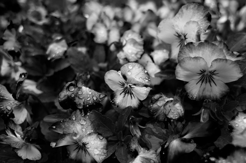 rainy days Flower Flower Head Plant Close-up Freshness Fragility Beauty In Nature Nature Rain Raindrops Black And White Blackandwhite Photography Black And White Friday Monochrome Lucky's Monochrome Tranquility Lucky's Mood Melancholy Shootermag Monoart Backgrounds EyeEm Gallery Depth Of Field Light And Shadow Contrast