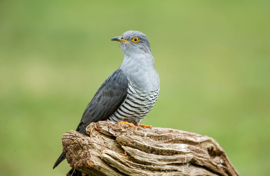 The common cuckoo is a member of the cuckoo order of birds, Cuculiformes, which includes the roadrunners, the anis and the coucals. This species is a widespread summer migrant to Europe and Asia, and winters in Africa. Common Cuckoo Cuculidae Cuculiformes Cuculus Canorus Animal Animal Themes Animal Wildlife Animals In The Wild Beauty In Nature Bird Brood Parasite Close Up Close-up Cuckoo Eurasian Europe Grey Looking Nature No People One Animal Outdoors Perching Tree Up Close