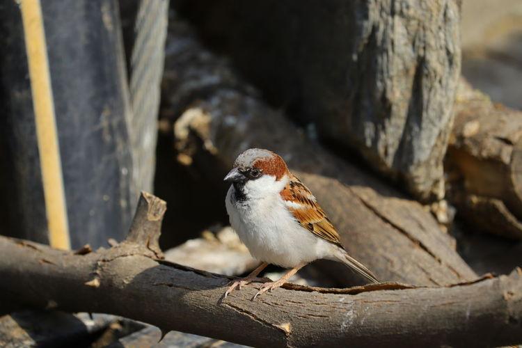 Close up sparrow , free bird image