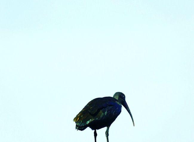 Birds Bird Photography Birdwatching Minimalism Minimalist Sky Bluesky Skylovers Sky_scapes Birds Of EyeEm