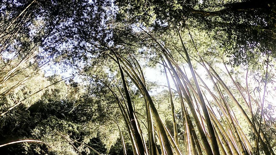 grow Neverstopexploring  Wanderlust Explorer Adventure Happy Love Livelife Sunlight Trees Inspirations Beinspired Inspirational Tree Backgrounds Full Frame Forest Sky Bamboo Grove Bamboo - Plant Bamboo Growing Plant Life My Best Photo