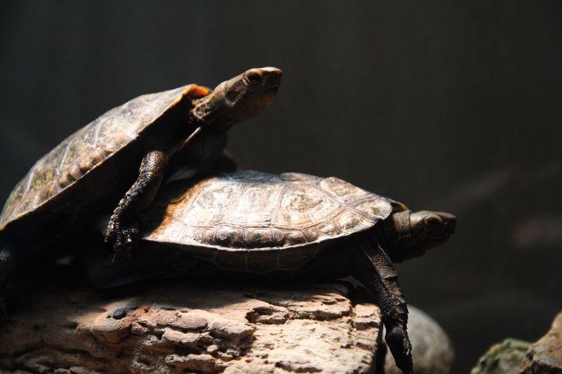 Turtles Mating On Rock At Aquarium