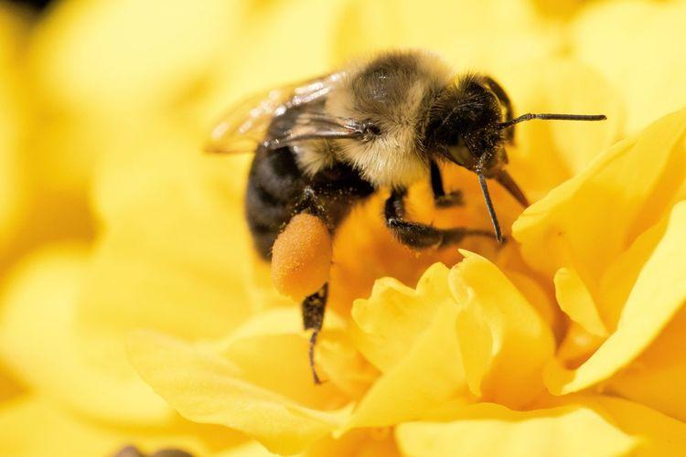 Macro shot of bumblebee pollinating on yellow flower