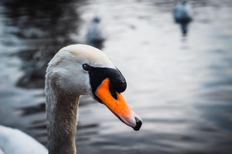 👀 Swan Bird