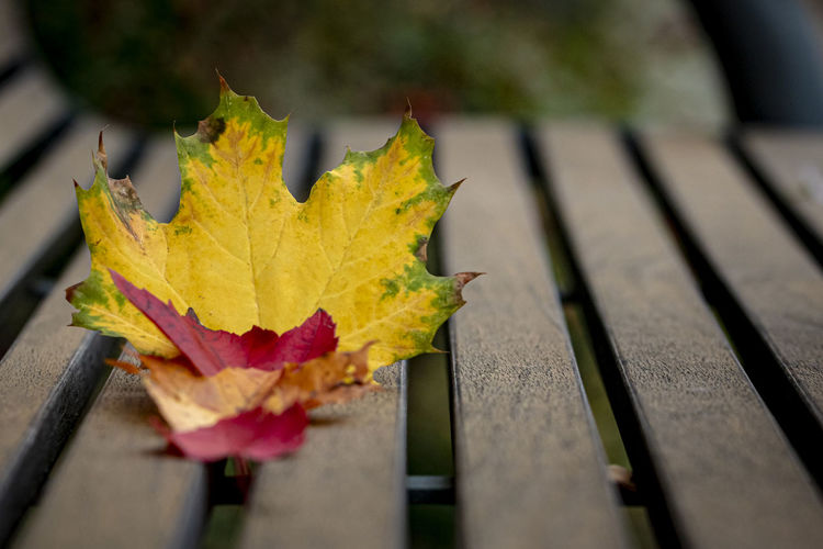 Close-up of maple leaf on bench
