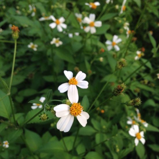 Flower Fragility Nature Growth White Color Beauty In Nature Petal Freshness Close-up Flower Head Blooming No People Day Outdoors Vietnam Hoa Co Dai