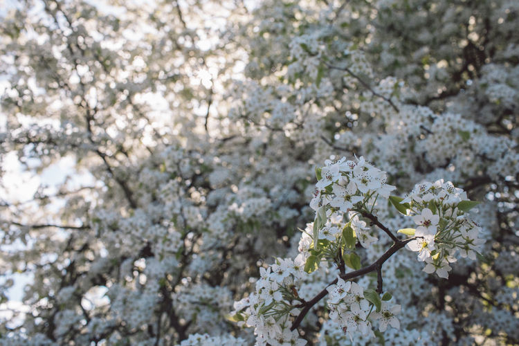 Flower Flowering Plant Plant Fragility Tree Springtime Freshness Beauty In Nature Vulnerability  Blossom Growth Nature Day No People Branch Close-up Cherry Blossom White Color Focus On Foreground Outdoors Flower Head Cherry Tree