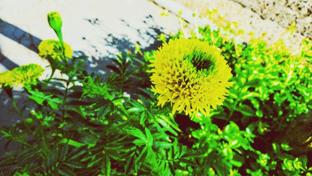 Plants Yellow Yellow Flower Yellow Flowers Leaves Green Leaves Nature EyeEm Nature Lover Brazil Nature Everywhere