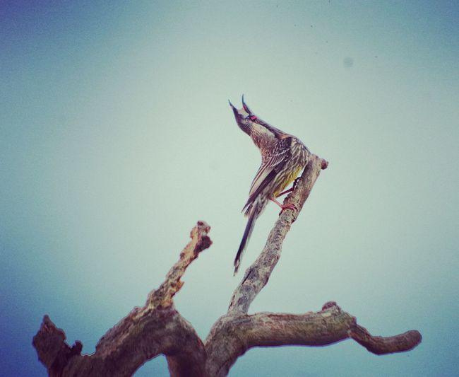 Australian wattle bird sings with gusto. Bird Singing Nature Photography Australia Australian Wildlife Joy Enthusiasm