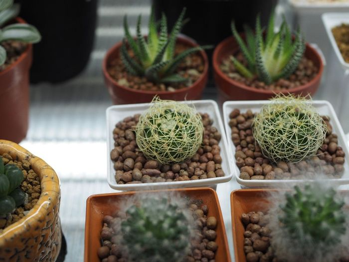 Close-up of succulent plants in market