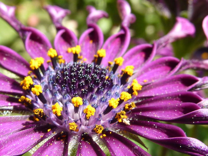 African Beauty In Nature Blooming Blossom Close-up Curled Flower Flower Head Focus On Foreground Fragility Freshness Growth In Bloom Macro Nature Petal Plant Pollen Purple Selective Focus Single Flower Stamen Summer Violet