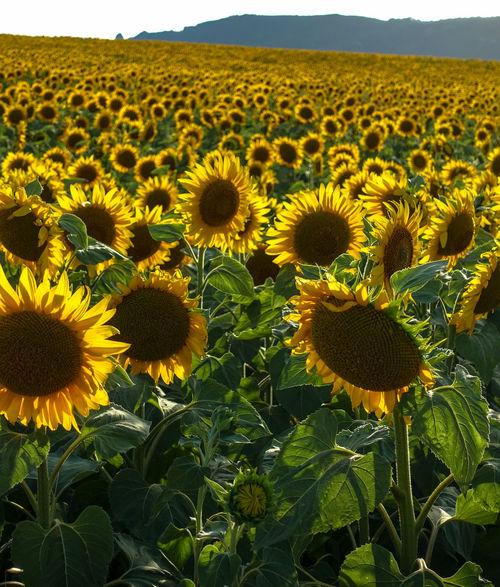 Andalucía Infinidad Sunflower Yellow And Green Girasol Infinity Yellow