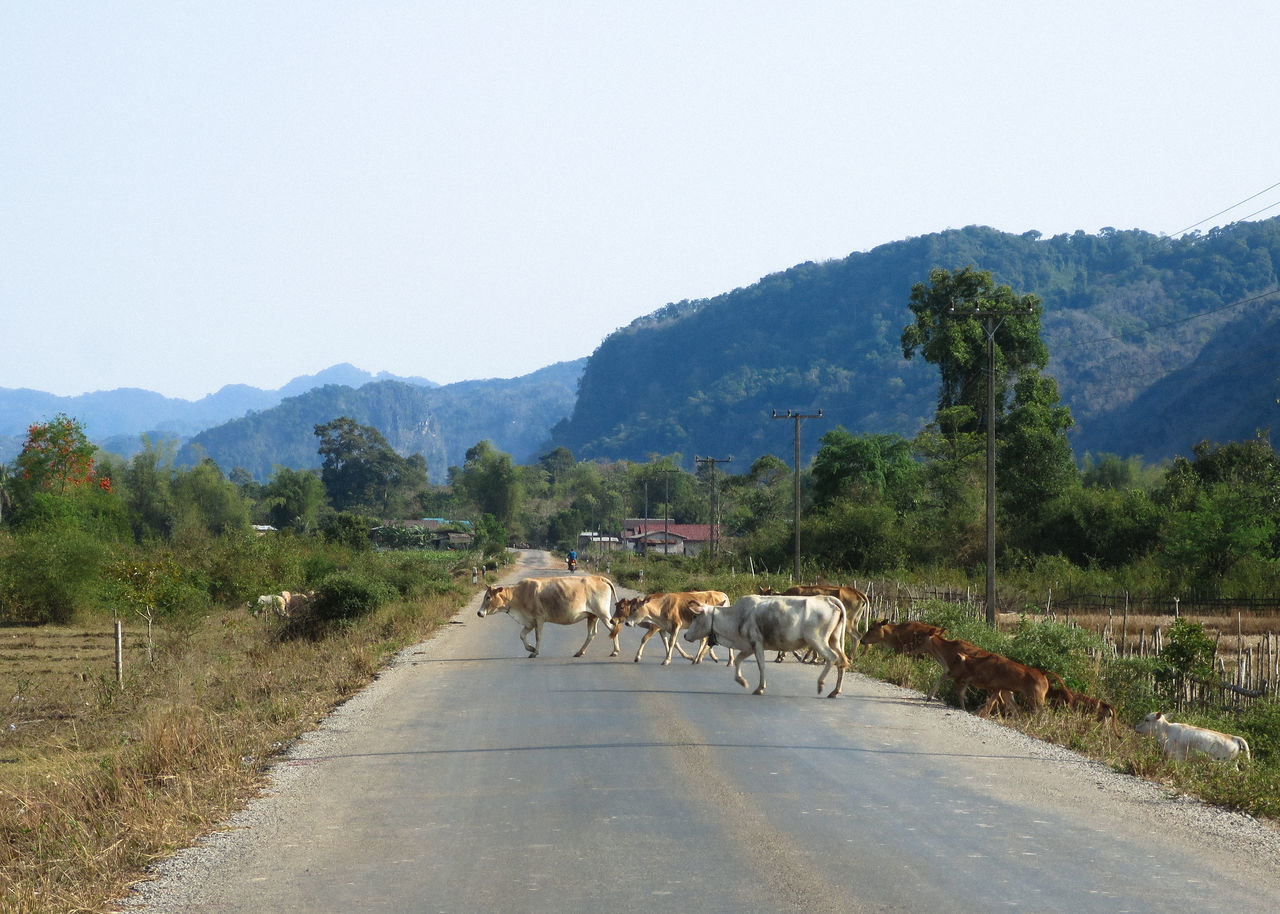 Cows Crossing Road In Town Against Mountains