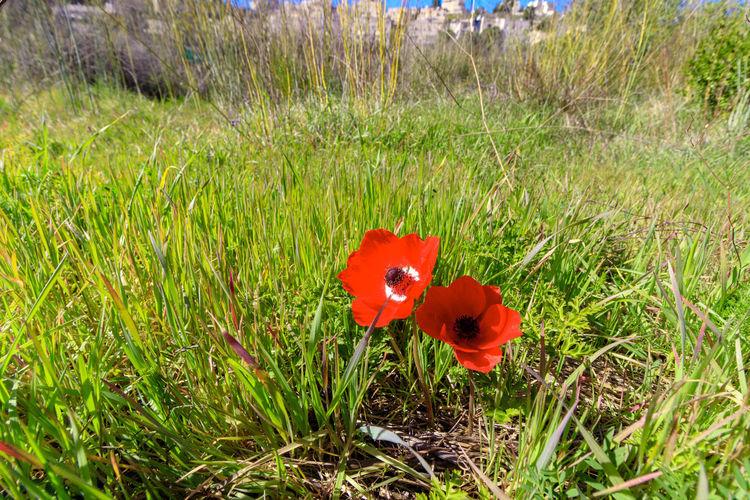 Red poppy flower on field