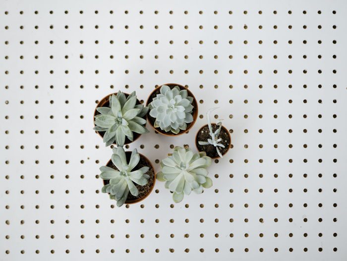 High angle view of suculent plants against white background