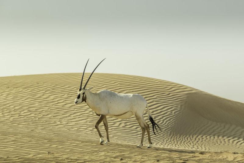 Arabian oryx at desert