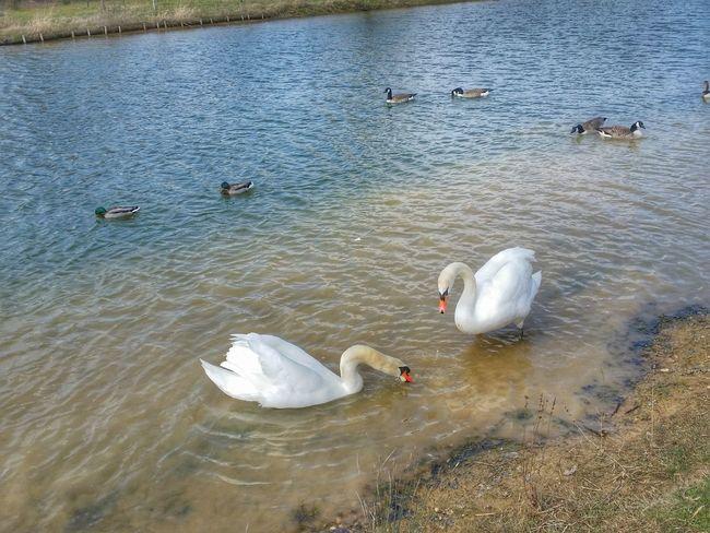 Swans Geese Canadian Geese Ducks Reservoir