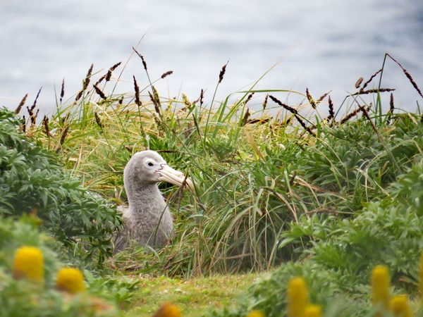 Southern Giant Petrel Chick Sub Antarctics Chick Enderby Island Auckland Islands Southern Giant Petrel One Animal Animals In The Wild Day Outdoors Grass Animal Wildlife No People Nature Animal Themes Bird