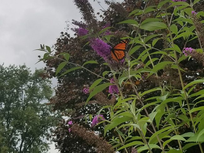 Flower Growth Fragility Nature Freshness Beauty In Nature Outdoors Petal Day Plant No People Leaf Green Color Low Angle View Flower Head Tree Blooming Sky Close-up Animal Themes One Animal Pennsylvania Butterfly Insect Monarch Butterfly