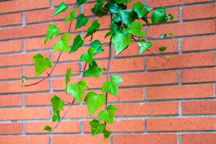 Red brick wall texture and green leaf hanging down on it at the edge. Copy space background. Art of wall concept Wall Brick Green Leaf Red Texture Space Concept Ivy Background Building Plant Pattern Backdrop Brown Frame House Color Aged Creeper Garden Grow Stone Summer Surface Brickwork  Foliage Growth Horizontal Natural Branch Construction Climb Solid Simple Design Decoration Brickwall Block Material Decor Weathered Grunge Abstract Textured  Decorative Outdoors Outdoor Backgrounds Border