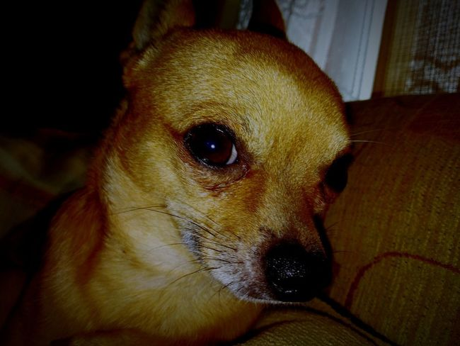 Picur Chichuahua PicurTheDog Pets Portrait Dog Close-up Animal Nose Animal Ear Animal Eye At Home Home HEAD Eye Adult Animal Animal Face Animal Head