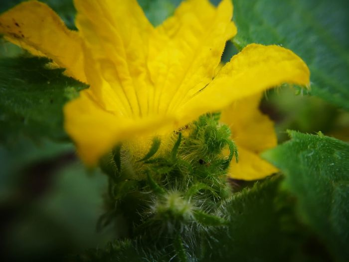 Hidden cucumber bloom Flower Flower Head Yellow Springtime Beauty Close-up Plant