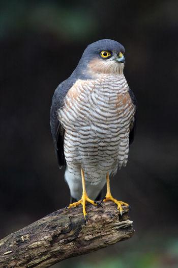 Close-up of eurasian sparrowhawk perching on wood