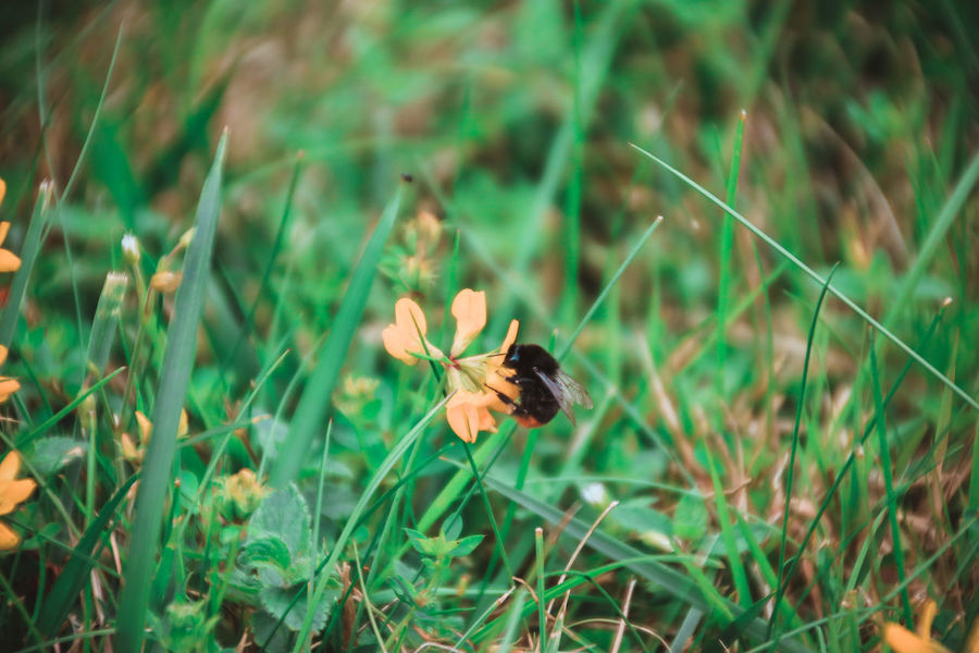 Animal Themes Blooming Bumblebee Grass Honey Honey Dew Insect Petal Plant Wildlife