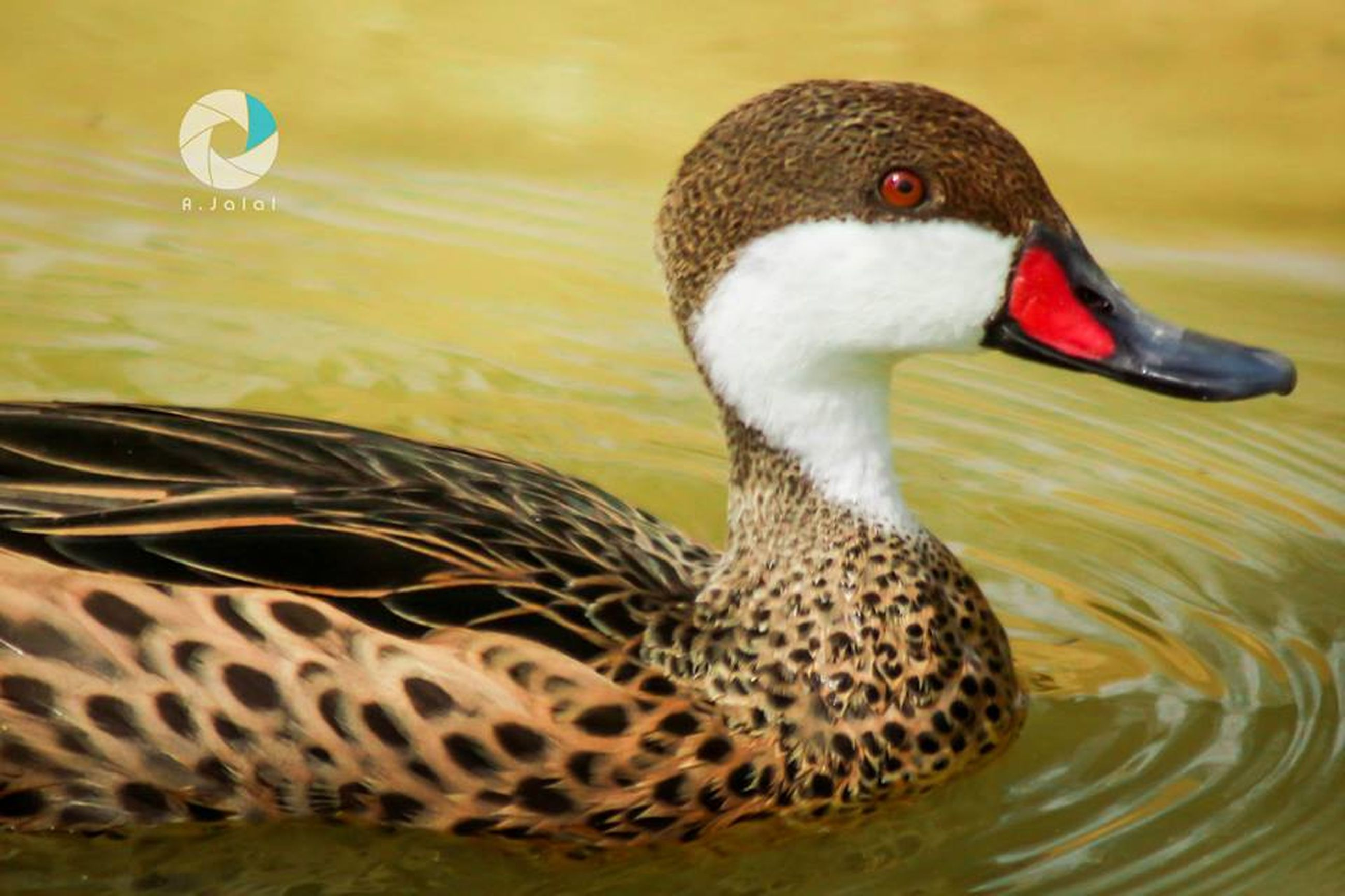 animal themes, animals in the wild, bird, wildlife, one animal, beak, water, lake, duck, close-up, swimming, focus on foreground, nature, side view, two animals, animal head, water bird, outdoors, no people