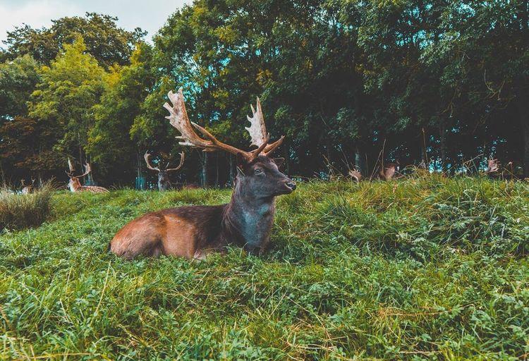 Deers in the