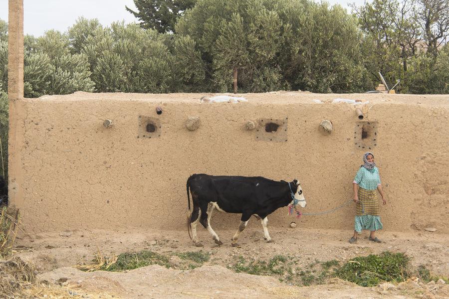 Amazighen Atlas Atlas Mountain Bereber Cow Looking At Camera Marocco Midelt Smile Woman
