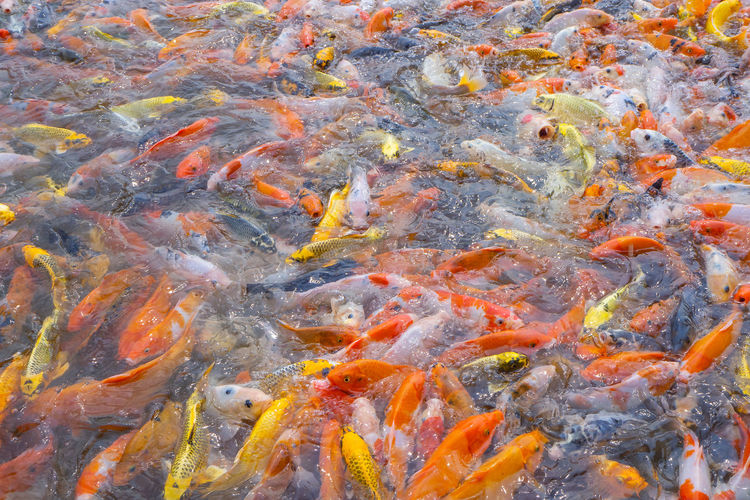Tilapia and koi fish/fancy carp fish swimming waiting for food in the pond.