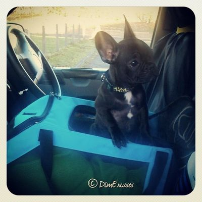 How cool? Frenchbulldog in charge of the VW Transporter AdventuresOfMolly