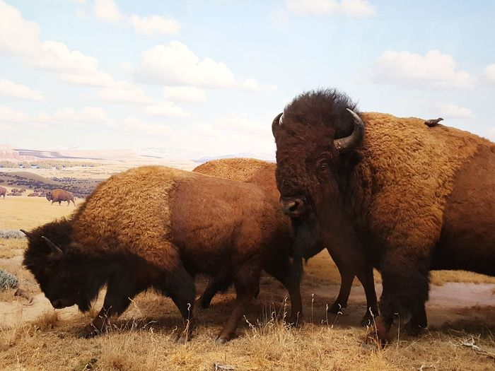 EyeEm Selects Animal Animal Wildlife Mammal Animals In The Wild Group Of Animals Nature American Bison Outdoors No People Portrait Sky Day Animal Themes Bison Bisonte Bison Group Mamífero USA