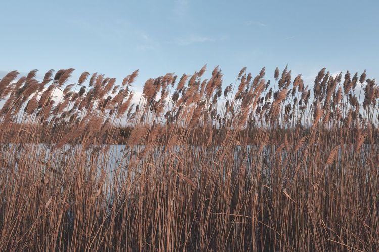 Outside Evening Nature Landscape Plants Wheat Wheat Stalks Fall Lake Landscape Premium Premium Collection