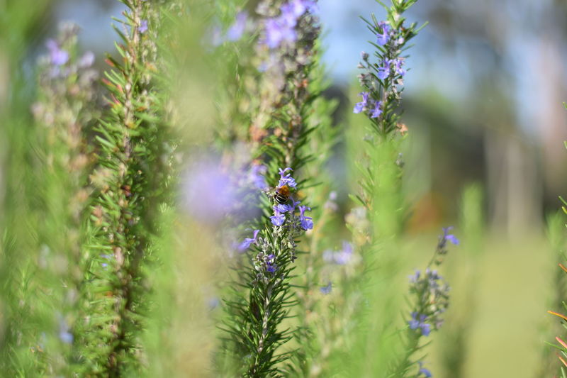 Rosemary Beauty In Nature Close-up Day Freshness Garden Growth Nature No People Outdoors Plant Rosemary Herb