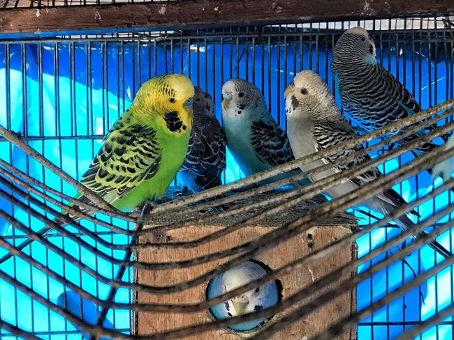 Budgerigar Animal Themes Bird Animals In Captivity Parakeet Cage Parrot Blue Togetherness Close-up Animal Wildlife Outdoors Birdcage No People Perching Animals In The Wild Nature Day
