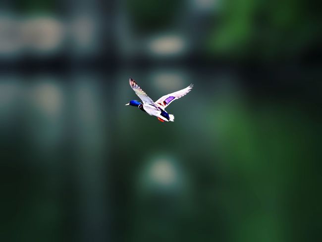 Goodmorning Wild Duck Flying Tadaa Community EyeEm Nature Lover Say Hello