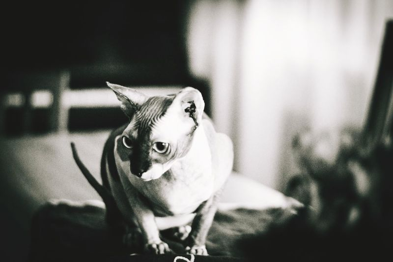 Close-Up Of Sphynx Looking Away
